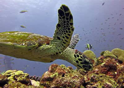 View of turtle while diving in Krabi
