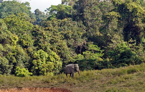 Elefante-salvaje-en-Khao-Yai