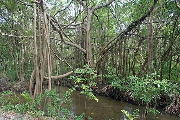 bang krachao trees