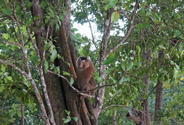 monkey koh surin