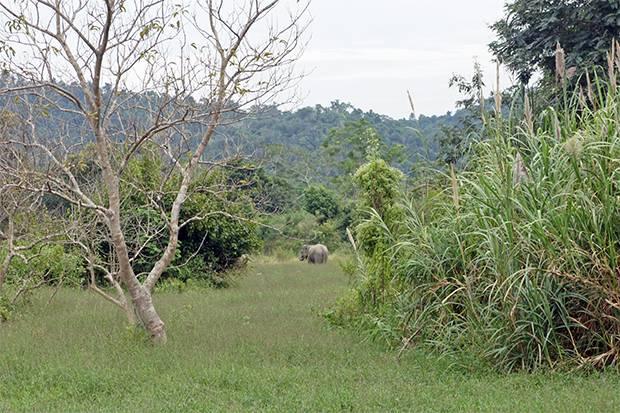 kui buri elephants 2