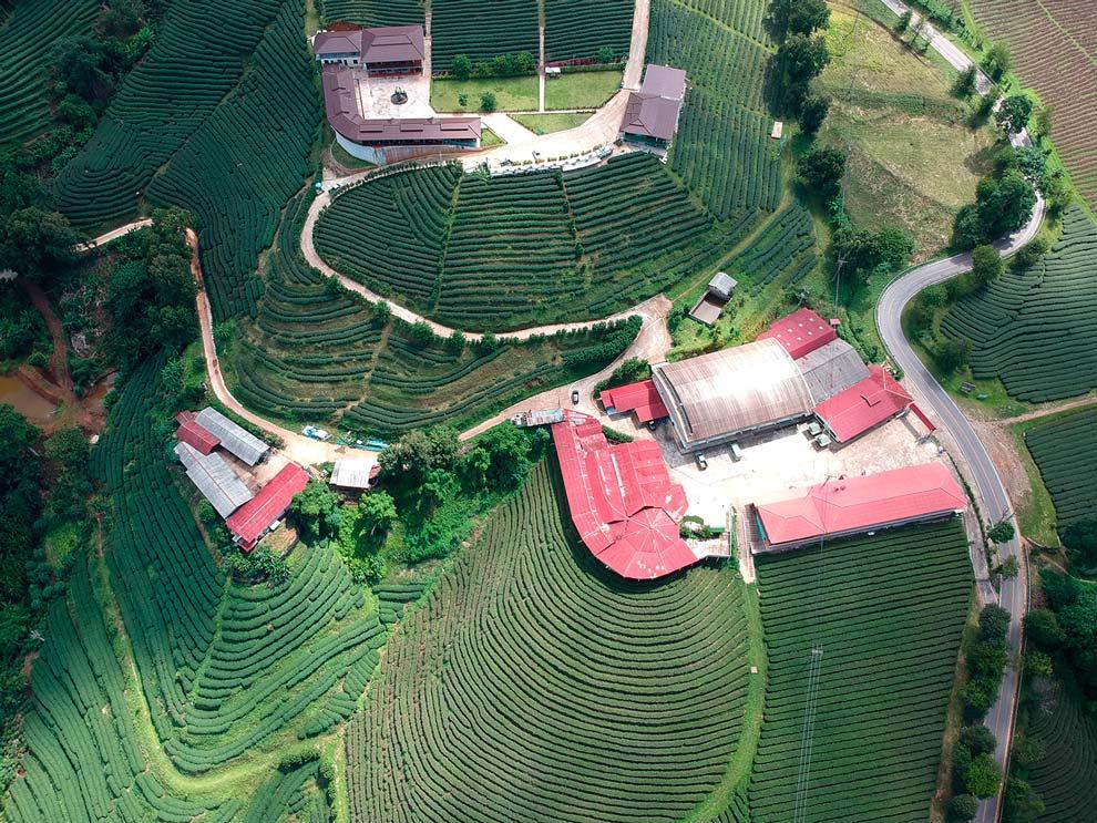 Tea fields in Mae Salong